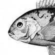 Tautog_face